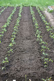 Straight tomato. Tomato seedling in straight line Royalty Free Stock Photos