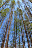 Straight Towering Trees Stock Photo