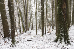 Straight trees covered in snow Royalty Free Stock Photo