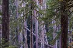 Tangle of beautiful old growth trees in Ohanapecosh Campground. Straight, vertical trunks of a section of old growth forest in Ohanapecosh Campground.  Muted Stock Photography