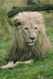 Straight on View of a Gorgeous Male Lion Stock Images