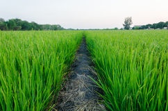 The straight way for pass the ricefield Stock Photo