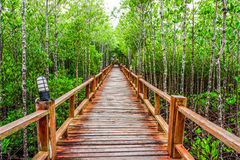 Straight wooden walkway and abundant mangrove forest in Thailand. Stock Images
