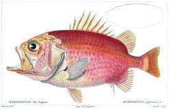 Straighthead Soldierfish Royalty Free Stock Photos