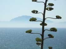 Agave blossoms in front of a sea and a coast Royalty Free Stock Photography