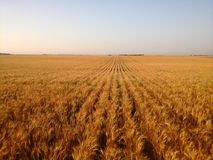 Long straight clean rows of Grain Stock Photography