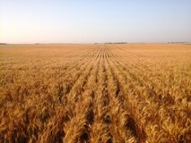 Golden rows of ripe wheat Royalty Free Stock Image