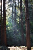 Stralen van de zon in het bos Royalty-vrije Stock Afbeeldingen