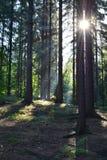 Stralen van de zon in het bos Stock Afbeeldingen