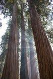 Stralen van Zonlicht door Boomstammen van Reuzebomen i van de Sequoiacalifornische sequoia stock foto