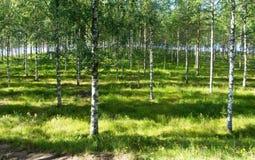 Stralen van zonlicht in het berkbosje dichtbij de rivier Stock Foto