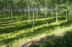 Stralen van zonlicht in het berkbosje dichtbij de rivier Stock Afbeelding