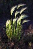 Stralen van zonlichtdaling op jonge groene tarwe stock afbeelding