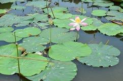 Stralend - lotusbloembloem stock fotografie