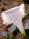 Stramonium white open flower Stock Images