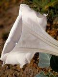 Stramonium white open flower full sun Royalty Free Stock Images