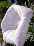 Stramonium white open flower Royalty Free Stock Photos