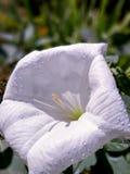 Stramonium white open flower Stock Image