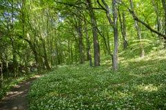 Stran Nemosicka, лес граба, интересное волшебное место природы вполне зацветая одичалого чеснока медведя, хода пути лес Стоковые Фотографии RF