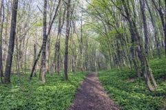 Stran Nemosicka, лес граба - интересное волшебное место природы вполне одичалого чеснока медведя во время времени весны Стоковое Фото
