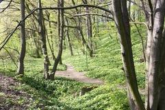 Stran Nemosicka, лес граба - интересное волшебное место природы вполне одичалого чеснока медведя во время времени весны Стоковое Изображение