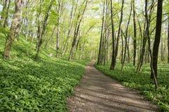 Stran Nemosicka, лес граба - интересное волшебное место природы вполне одичалого чеснока медведя во время времени весны Стоковые Изображения