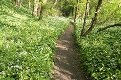 Stran Nemosicka, лес граба - интересное волшебное место природы вполне одичалого чеснока медведя во время времени весны Стоковые Фотографии RF