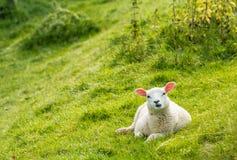 Stranamente guardare agnello Fotografie Stock Libere da Diritti