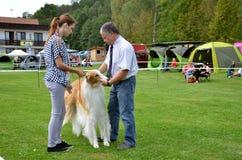 Stranavy, Словакия - 10-ое сентября 2017: Судите структуру проверки телесную к афганской борзой в местной выставке собак Стоковая Фотография RF