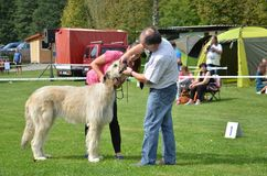 Stranavy, Slowakije - September 10, 2017: De rechterscontrole de tanden aan Ierse Wolfshond bij lokale hond toont Stock Fotografie