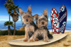Strand Als thema gehad Yorkshire Terriers Royalty-vrije Stock Foto