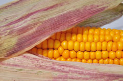 Strand of corn seen up close Royalty Free Stock Images