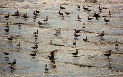 Strand, der die Vögel suchen nach dem Mittagessen badet Lizenzfreie Stockfotografie