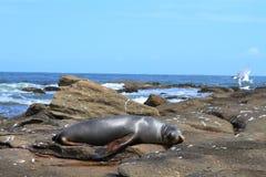 Strand met zeeleeuw Stock Foto's