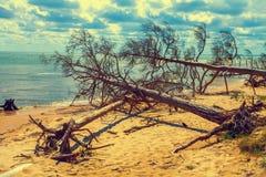 Strand mit gefallenen toten Bäumen stockbild