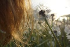 A strand of red female hair and a dandelion on the background of the setting sun. stock images