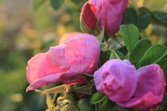 Strand Rose ist in voller Blüte an der Dämmerung Lizenzfreies Stockfoto