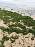 Strand som räknas med seaweed - ekologisk obalans royaltyfria foton