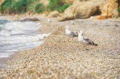 Strand vögel Seemöwe auf dem Strand Lizenzfreies Stockfoto