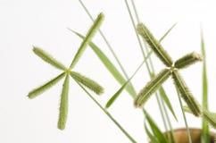 Strand wiregrass, Ranonkelgras, khwae van Ya pak (Thaise naam) (Dactyloctenium-aegyptium (L ) P Beauv ) Stock Afbeelding