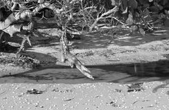 Stranddrijfhout in Zwart-wit Royalty-vrije Stock Foto's