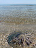 Stranded jellyfish. On a beach in the mediterranean Stock Photography