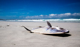 Stranded Mola Mola Sunfish Stock Photo