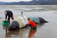 Volunteers tending a stranded pilot whale on Farewell Spit, New Zealand. Stranded pilot whale beached on Farewell Spit at the northern tip of New Zealand`s South