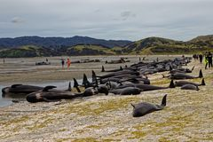 Stranded pilot whales beached on Farewell Spit, New Zealand. Stranded pilot whales beached on Farewell Spit at the northern tip of New Zealand`s South Island royalty free stock photography