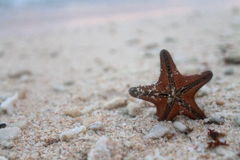 Stranded star. A brown starfish stranded on the shore royalty free stock photo