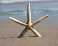 Stranded starfish. One starfish upright on deserted idyllic beach, with the beautiful aqua ocean in the background royalty free stock images