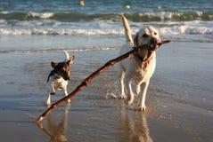stranden dogs den skämtsamma sticken Royaltyfri Fotografi