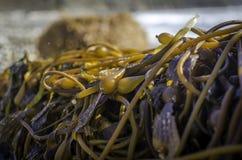 Stranden och närbilden av havsogräset förgrena sig i stora Sur Royaltyfria Bilder