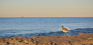 Strandfågel Royaltyfria Foton